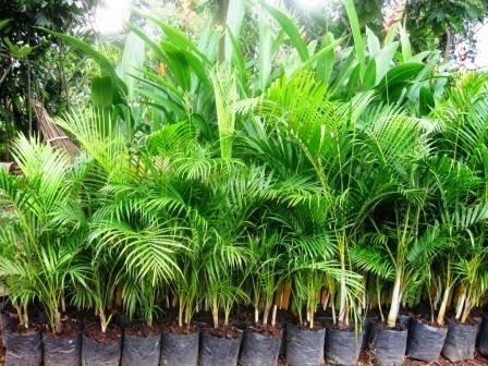 Jual Pohon Palem Kuning | Grosir Tanaman Palem Online