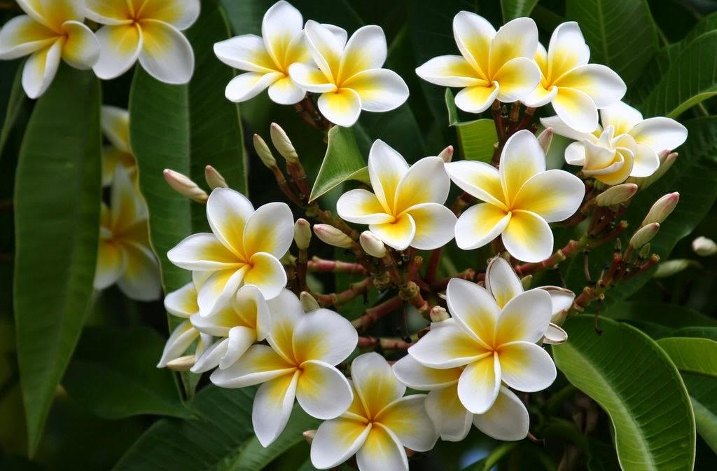 Kamboja atau semboja (bahasa Latin: Plumeria) merupakan sekelompok tumbuhan dalam marga Plumeria. Bentuknya berupa pohon kecil dengan daun jarang namun tebal.
