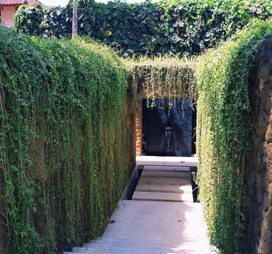 lee kwan yeew ( Vernonia elliptica) adalah salah satu jenis tanaman hias yang memiliki dahan hijau menjuntai. Selain rimbun dan hijau, tanaman rambat ini sangat bagus untuk di tanam menutup atau menghiasi dinding rumah, jendela atau atap.