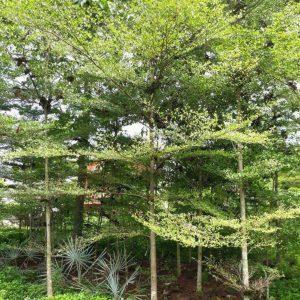 Jual Pohon Ketapang Kencana Daerah Bsd Tanggerang Dan Sekitar Nya