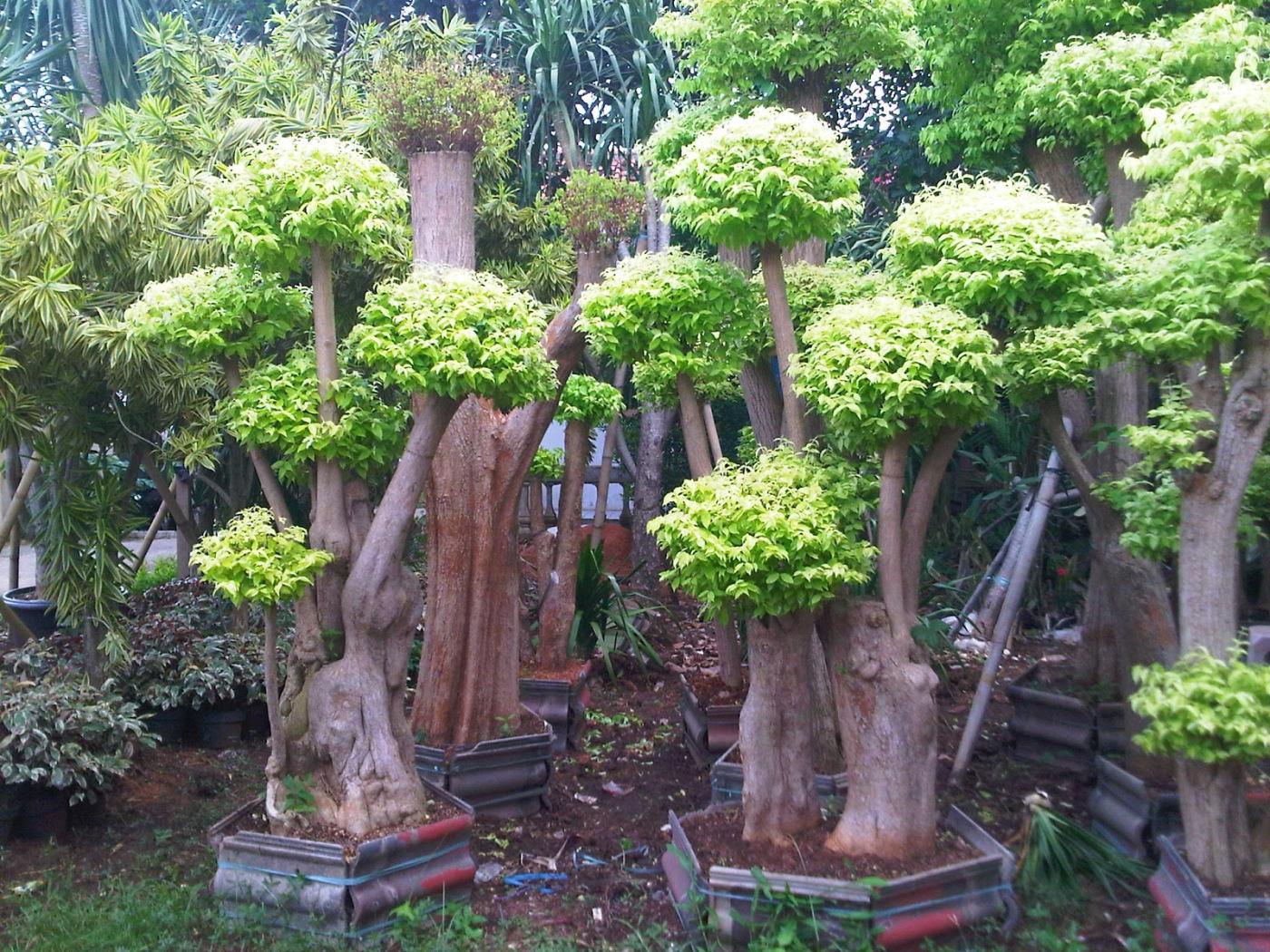 Jual Pohon Bonsai Anting Putri Harga Terjangkau Daerah Jakarta Selatan