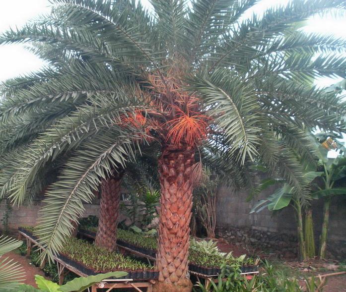 Jual Pohon Palem Kenari Silver – TamanPedia.Com