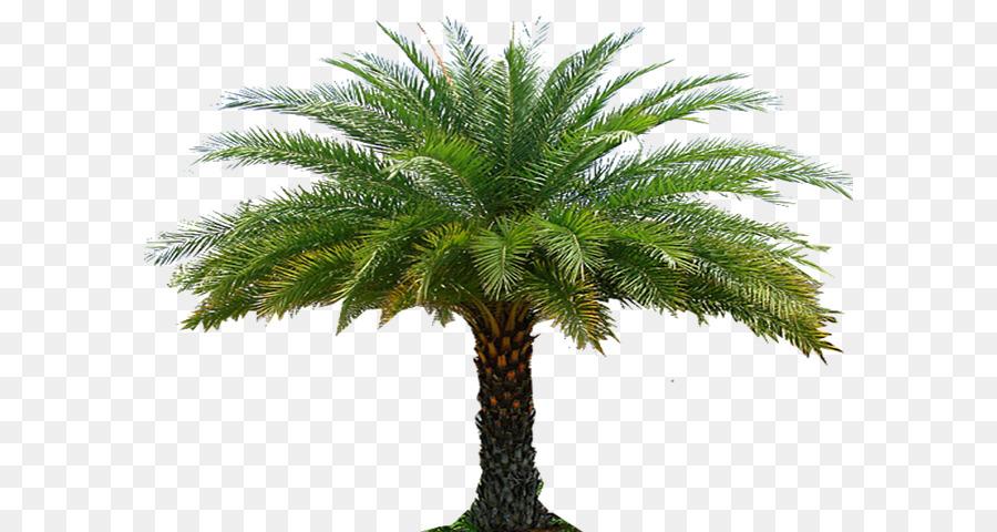 Jual pohon Palem Kenari Termurah Berbagai Ukuran