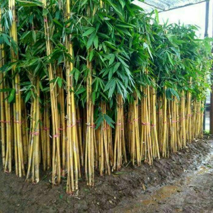 Jual Pohon Bambu Kuning atau Bambu Panda Tampungan