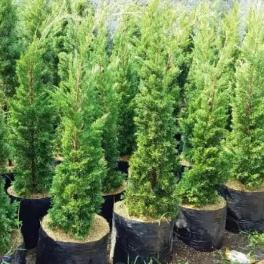 Jual Pohon Cemara Lilin - Tamanpedia