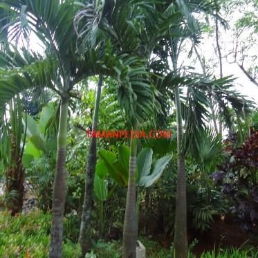Jual Pohon Palem Putri - Tamanpedia