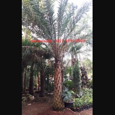 Jual Pohon Palem Kenari | Tamanpedia