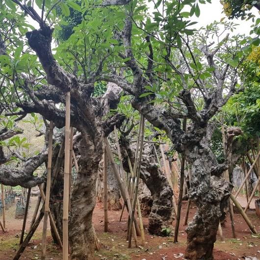 Jual Pohon Kamboja Fosil atau Kamboja Purba Besar