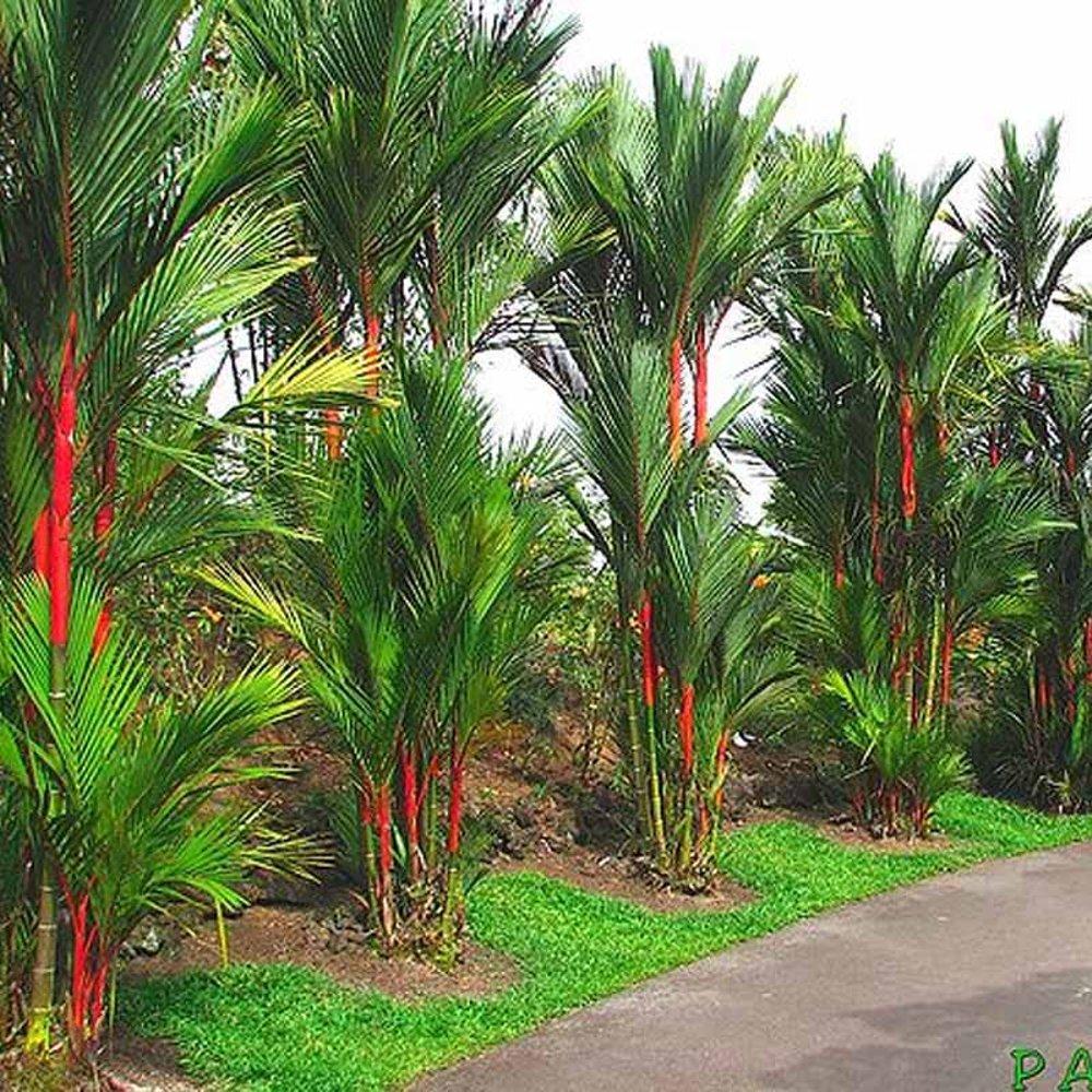 Jual Pohon Palem Merah atau Pinang Merah 3 Meter