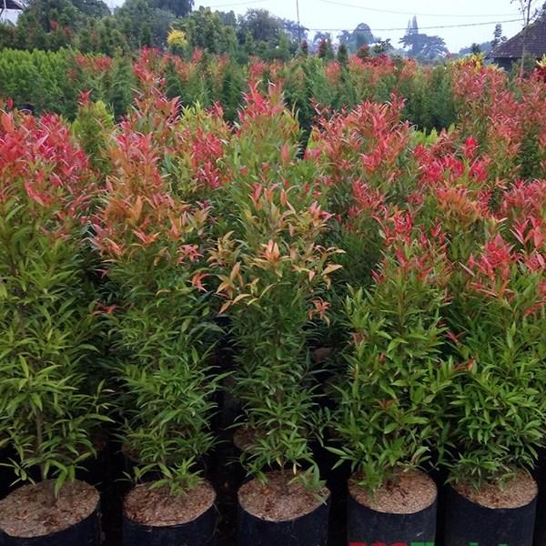 Jual Pohon Pucuk Merah | Harga Pucuk Merah Terbaru